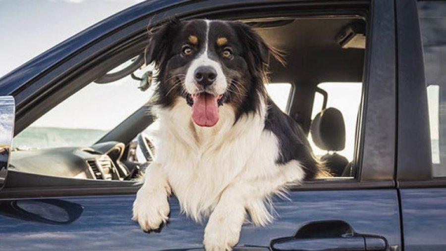 این زن سگ را به رانندگی ماشین و بنابراین تصادف متهم کرد